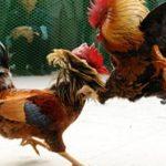 Keanehan Terjadi Saat Main Judi Sabung Ayam